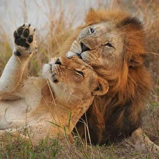 n lion2