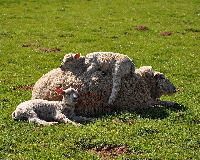 n sheep1