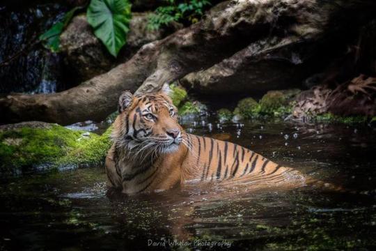 n tiger