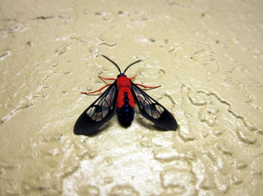 n wasp moth