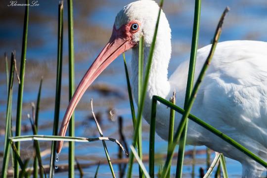 n white ibis