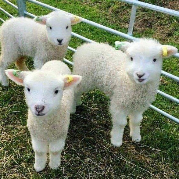 n 3 lambs
