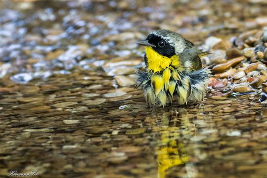 n common yellowthroat bath