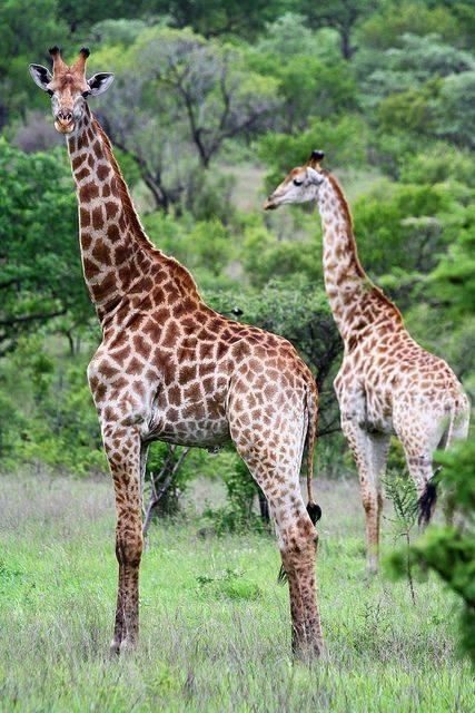 n giraffe