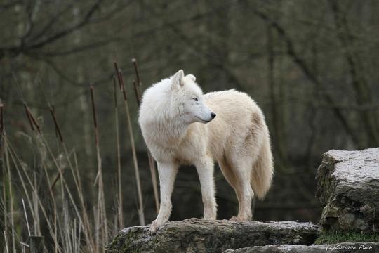 n grey wolf