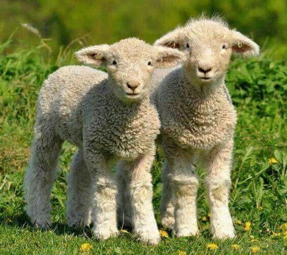 n lambs