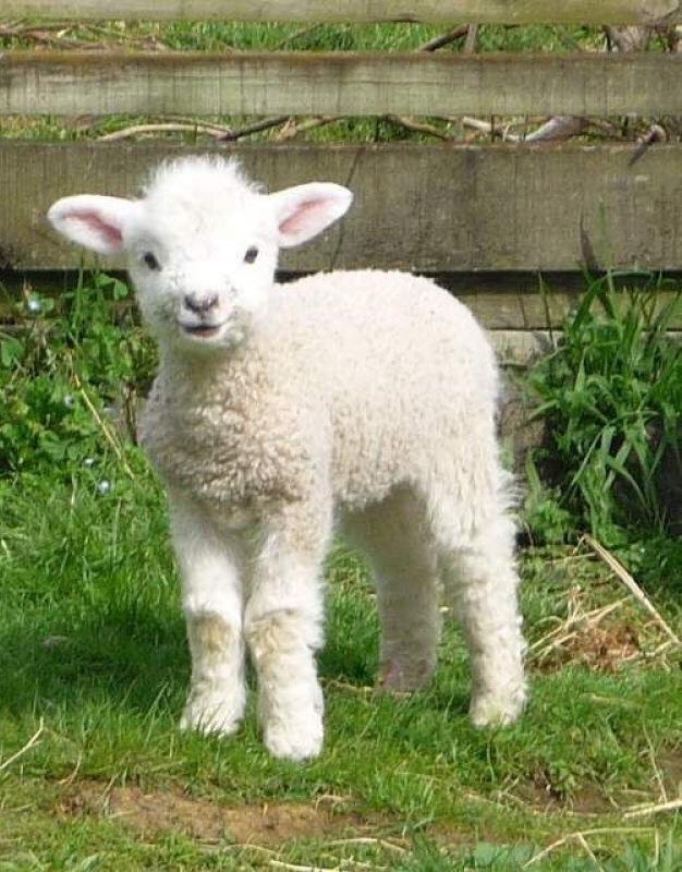 n lil lamb