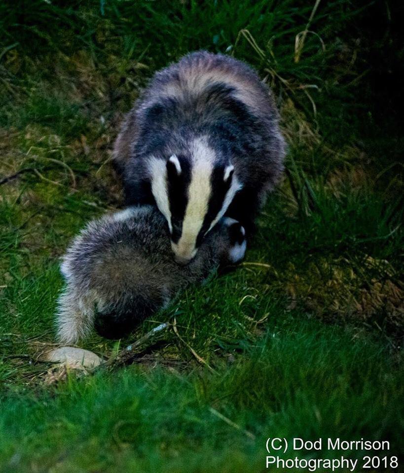 n mum badger