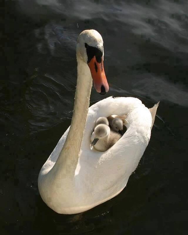 n swan