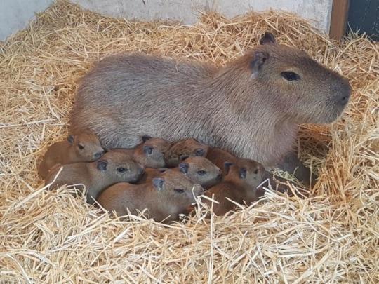 n capybara fam