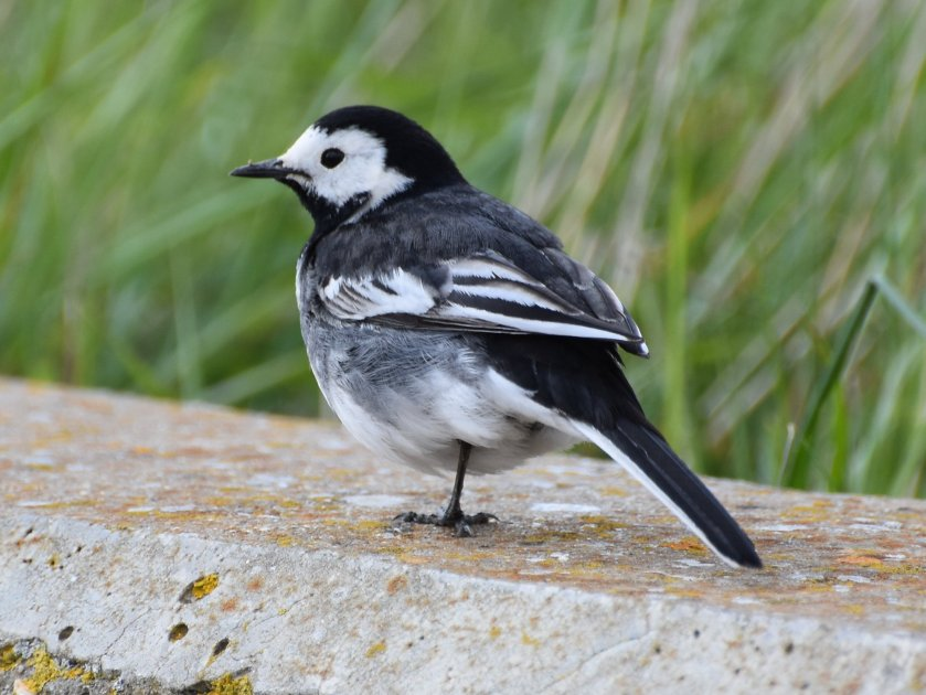 n pied wagtail