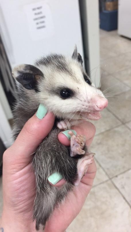 n possum