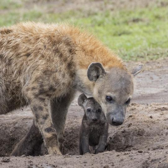 n hyena