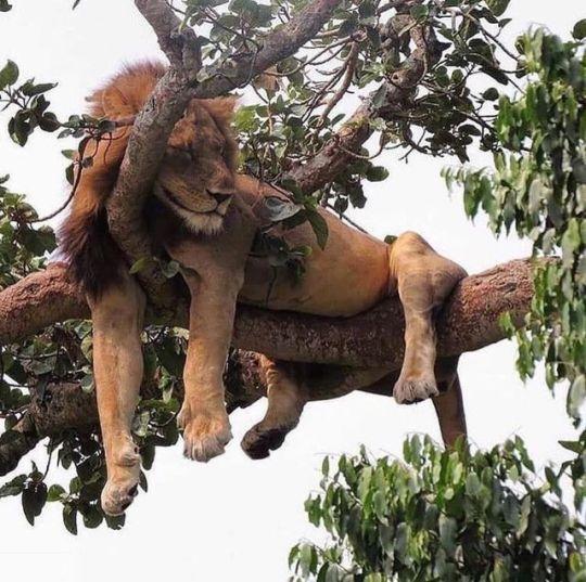 n lion