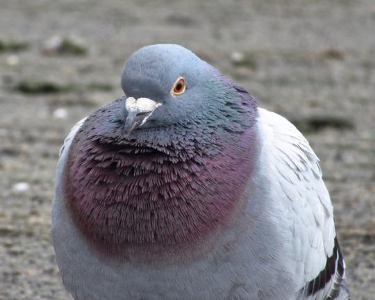 n pigeon