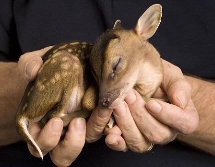 n baby deer
