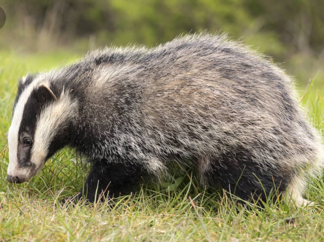 n badger