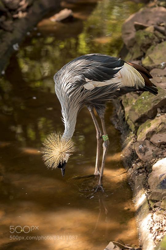 n grey crowned crane