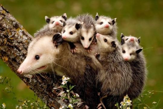 n opossoms
