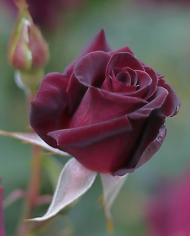 n rose