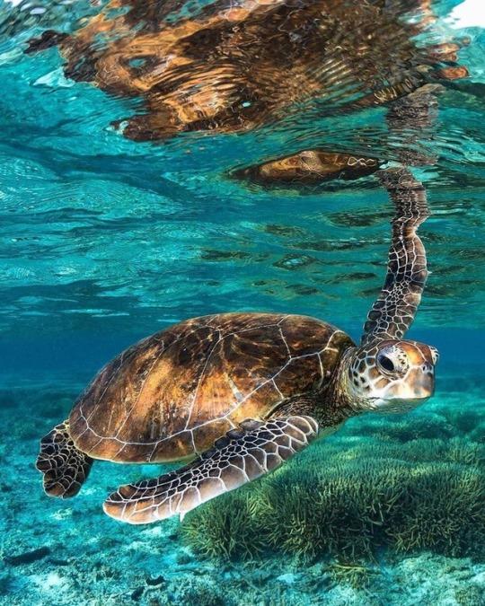 n turtle
