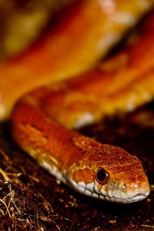 ncorn snake