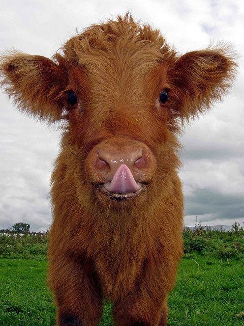 n cow 2