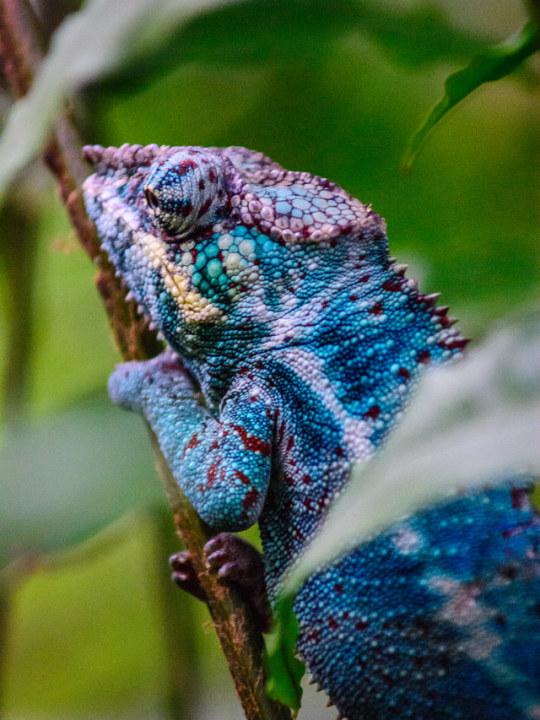 n panther chameleon