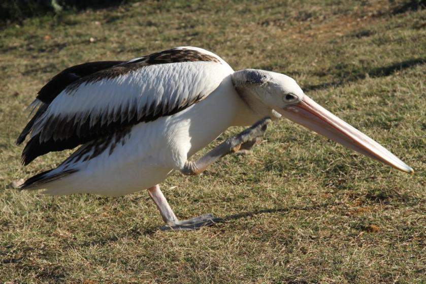 n pelican. kangaroo