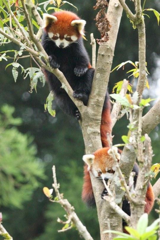 n red panda