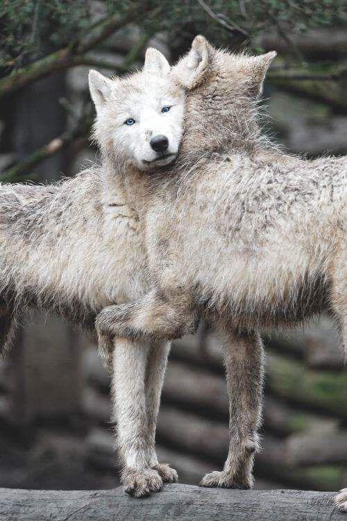 n wolf buds
