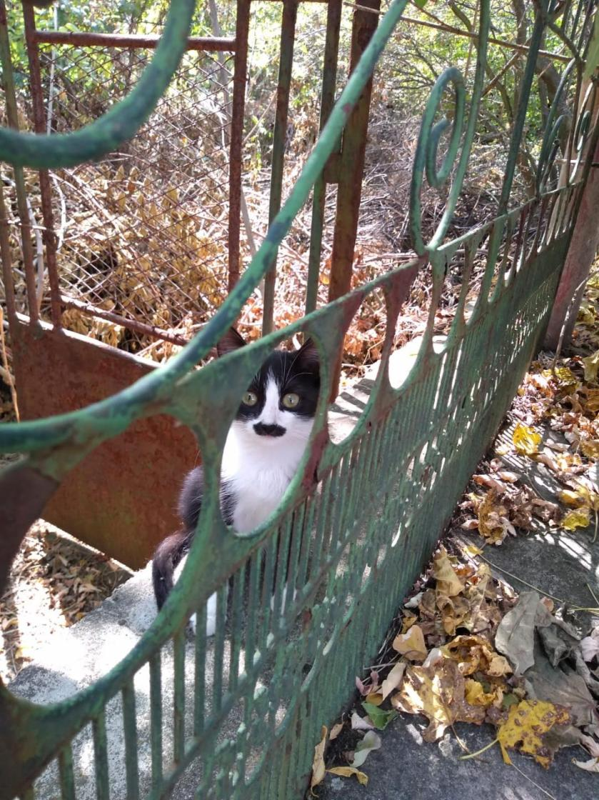 bulgarian cat
