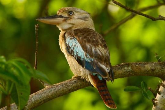 n blue winged kookaburra