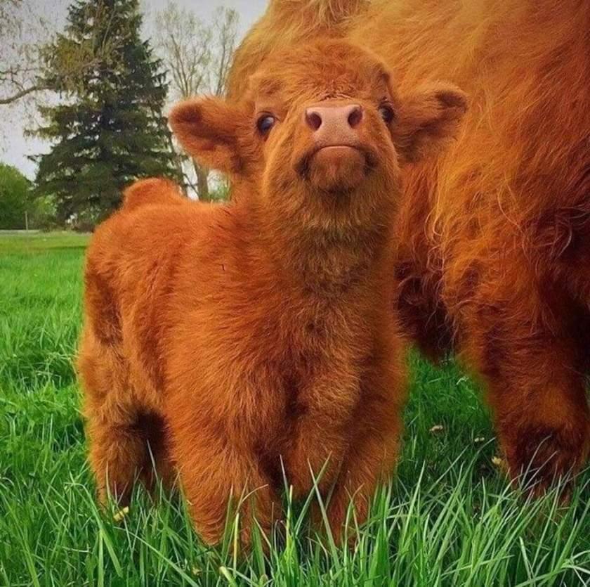 n cow