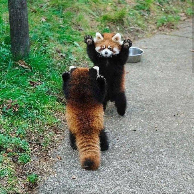 n red panda sandoff