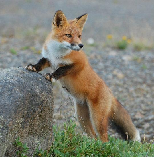 n fox