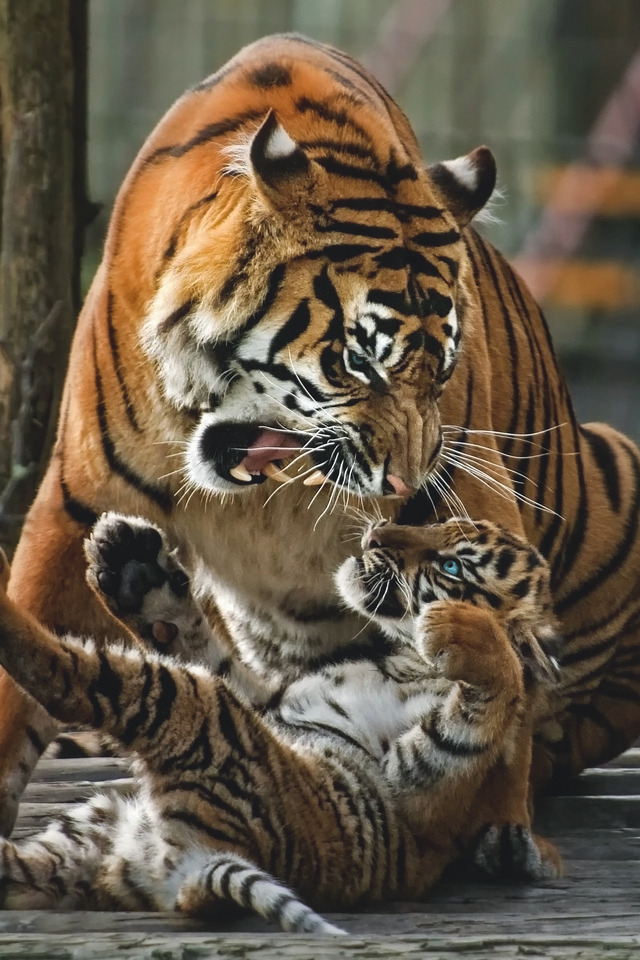 n tigers