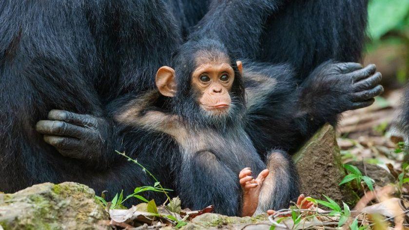 n chimp