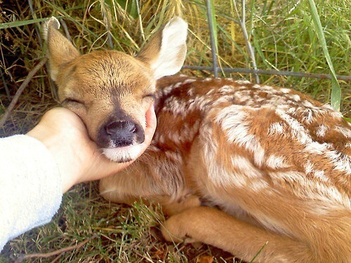 n deer