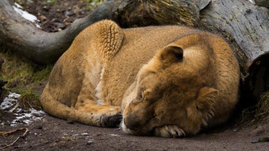 n sleepy lion