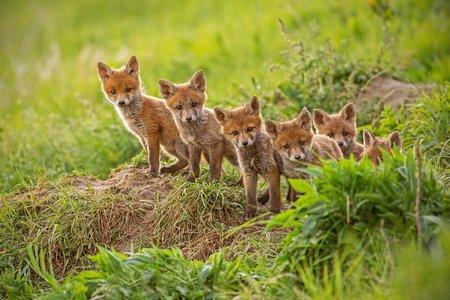 n foxes