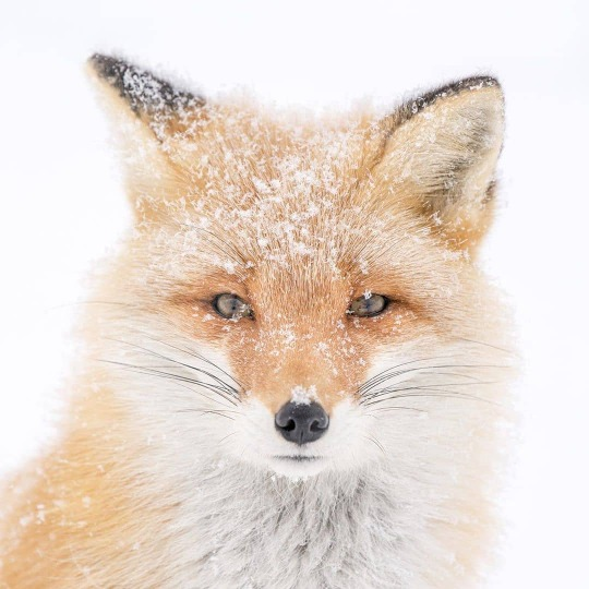 n snow fox