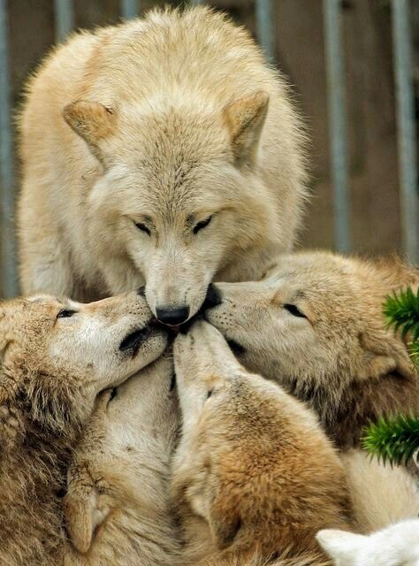 n white wolf