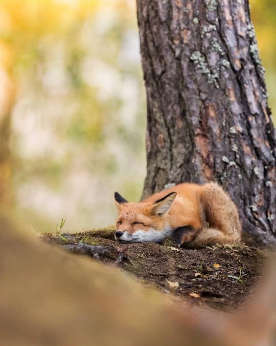 n foxy sleep