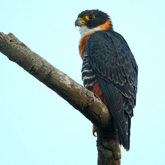 orange breasted falcon