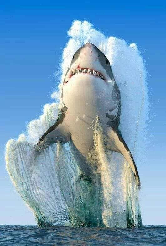 n great white shark