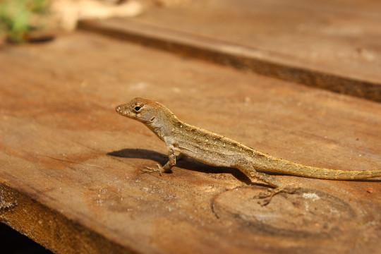 n lizard