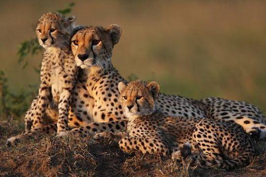 ss cheetah
