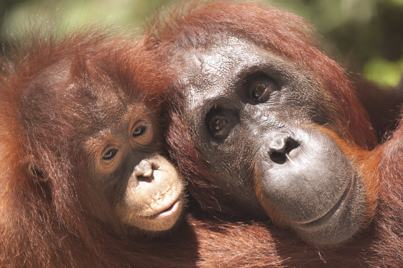 Baby-orangutan-Borneo
