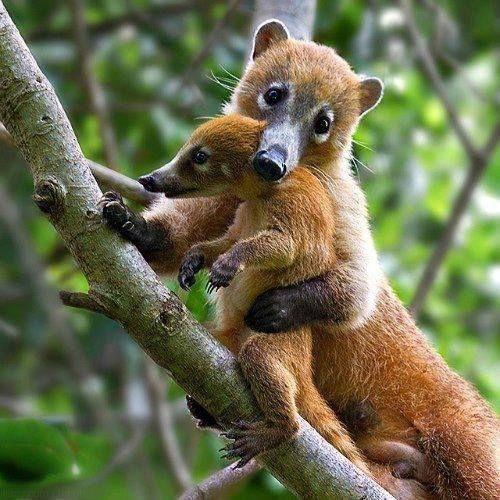 coati and cub